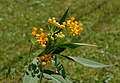 Mexican Milkweed Asclepias curassavica 'Silky Gold' Buds Flowers.jpg