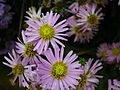 Michaelmas daisy or Aster amellus from Lalbagh Flowershow - August 2012 4725.JPG