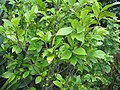 Michelia figo 0zz.jpg