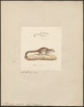 Microcebus pusillus - 1829-1867 - Print - Iconographia Zoologica - Special Collections University of Amsterdam - UBA01 IZ19700073.tif
