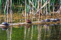 Mid morning in the Six Mile (Pat) Lake area…Western Painted Turtles & a Cinnamon Teal (9077775915).jpg