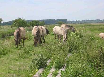 Konik horses grazing the reserve Minsmere Bird Sanctuary - geograph.org.uk - 22574.jpg