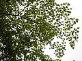 Mitragyna parvifolia (Roxb.) Korth. (28339563614).jpg