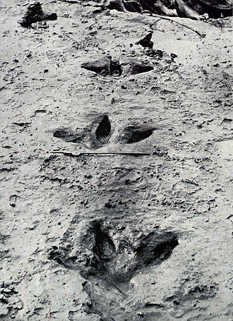 Bird ichnology - Footprints of a large moa found in 1911