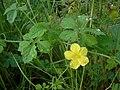 Momordica charantia (plant).jpg