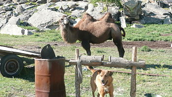 English: Camel and dog in the Gorkhi-Terelj Na...