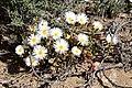Monilaria moniliformis (Aizoaceae) (37141627000).jpg