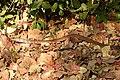 Montane Trinket Snake Coelognathus helena monticollaris by Dr. Raju Kasambe DSCN5610 (1).jpg