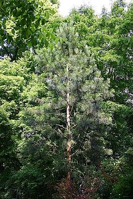 Junge Monterey-Kiefer (Pinus radiata).