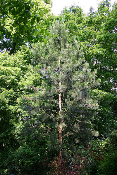 List of Plants 400px-Monterey-Kiefer