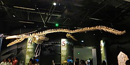Een gereconstrueerd skelet van Mosasaurus beaugei