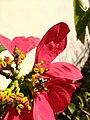 Mosca das flores (Ceriana sp) 05.jpg