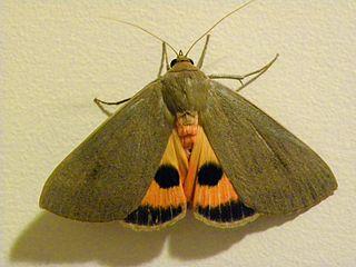 Pyralini Tribe of moths