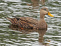 Mottled Duck male RWD3.jpg