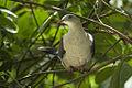 Mountain Imperial Pigeon - Krung Ching - Thailand S4E4912 (14269742271) (2).jpg
