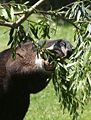 Mountain Tapir3.jpg