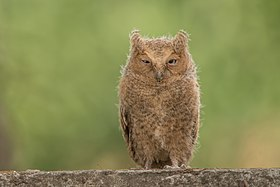 Mountain scops owl juv.jpg