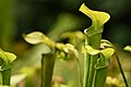 Mountain sweet pitcher plant (9663267075).jpg