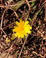 Muizenoor (Hieracium pilosella) 01.JPG