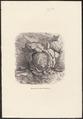 Muscardinus avellanarius - nest - 1700-1880 - Print - Iconographia Zoologica - Special Collections University of Amsterdam - UBA01 IZ20400171.tif