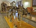 Museo di paleologia, scheletro di hippopotamus antiquus, recuperato presso figline valdarno.JPG