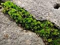 Musgo - Grimmiaceae (6582137031).jpg