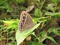 Mycalesis mineus – Dark-branded Bushbrown 11.jpg