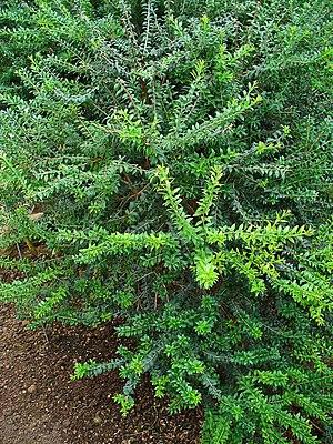 Myrtus communis - Image: Myrtus communis 001