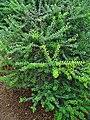 Myrtus communis 001.JPG