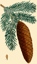 NAS-146g Picea abies.png