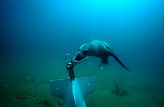 United States Navy Marine Mammal Program - An NMMP sea lion attaches a recovery line to a piece of test equipment during training.