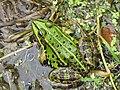 NSG Volksdorfer Teichwiesen - Frosch von oben.jpg