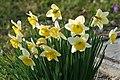 Narcissus tazetta ENBLA01.jpg