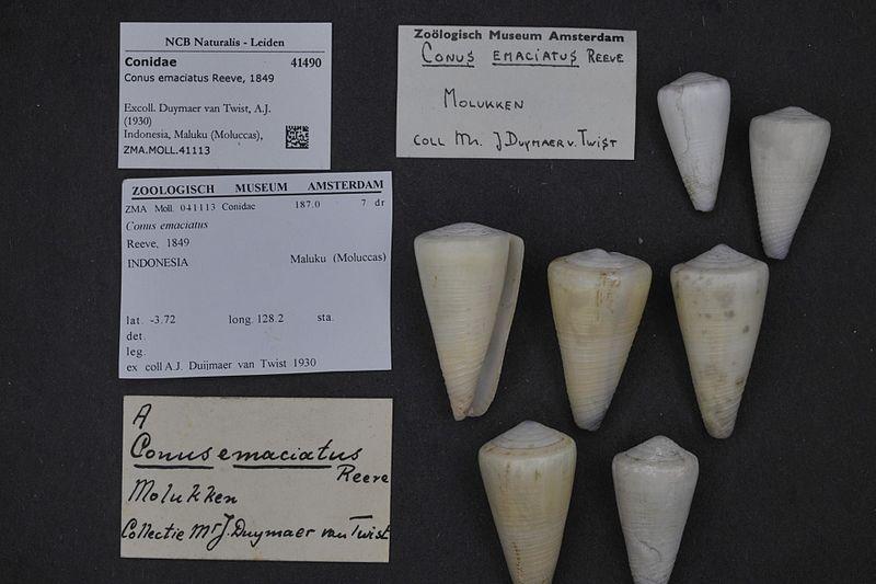 File:Naturalis Biodiversity Center - ZMA.MOLL.41113 - Conus emaciatus Reeve, 1849 - Conidae - Mollusc shell.jpeg