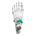 Navicular bone03.png