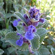 Nepeta racemosa - detail of flower, in a shadow 2.jpg