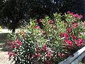 Nerium oleander100.JPG