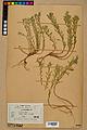 Neuchâtel Herbarium - Alyssum alyssoides - NEU000021940.jpg