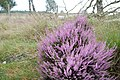 Nice heather full flowered at Hoge Veluwe National park Schaarsbergen with death tree - panoramio.jpg