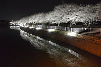 Night cherry bloosom on river 01.JPG