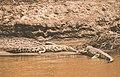 Nile Crocodiles, Mara River, Kenya (50149919253).jpg