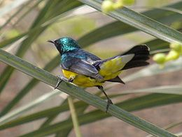 Nile Valley Sunbird in Plants