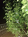 Noční pohled na švestky společně s plotem v pozadí.jpg