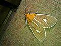 Noctuid Moth (Asota producta) (6985126412).jpg