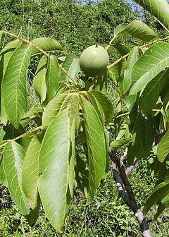 Juglans regia for Cuanto mide un arbol