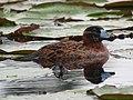 Nomonyx dominicus Pato enmascarado Masked Duck (15112521769).jpg