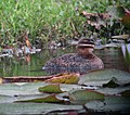 Nomonyx dominicus Pato enmascarado Masked Duck (female) (12252768755).jpg