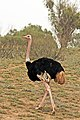 North African ostrich (Struthio camelus camelus) male.jpg