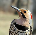Northern Flicker-1.jpg