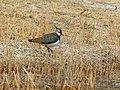 Northern Lapwing (Vanellus vanellus) (27859589379).jpg